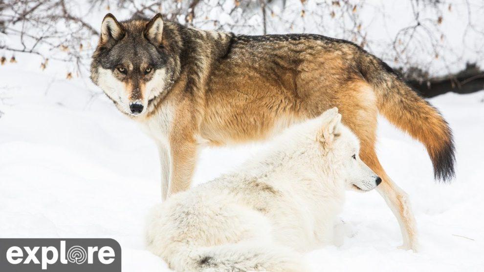 International Wolf Center North